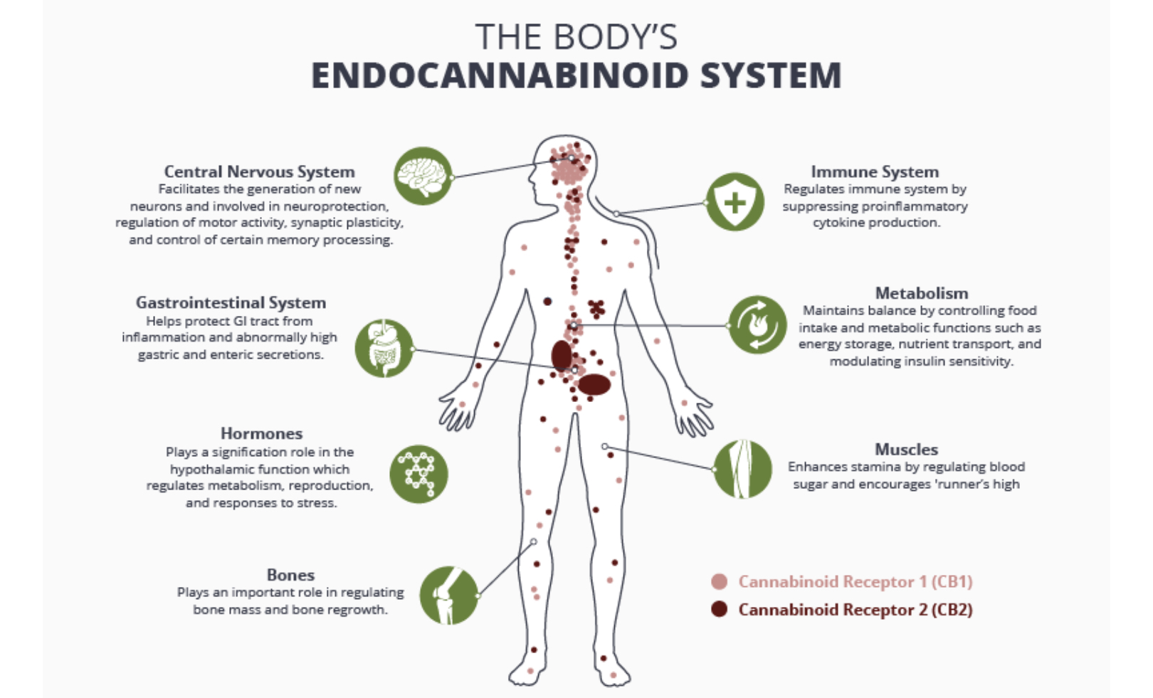 How CBD Affects Your Endocannabinoid System